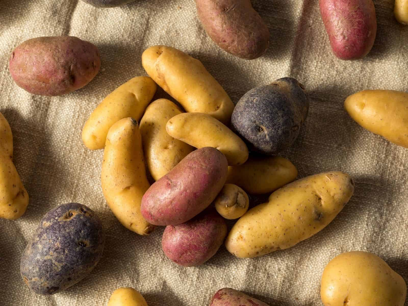 red purple yellow fingerling potatoes on table.
